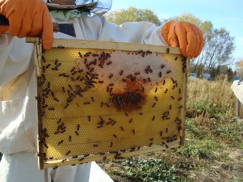 Пчёлы на Алтае. Уход за пчёлами.